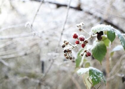 Blackberry Winter in the Country